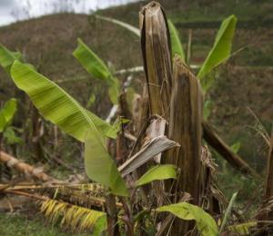 Unos 4,600 agricultores afectados por el huracán reciben compensación