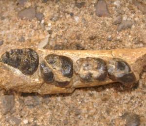 Antropólogos localizan los restos de un ancestro desconocido del ser humano