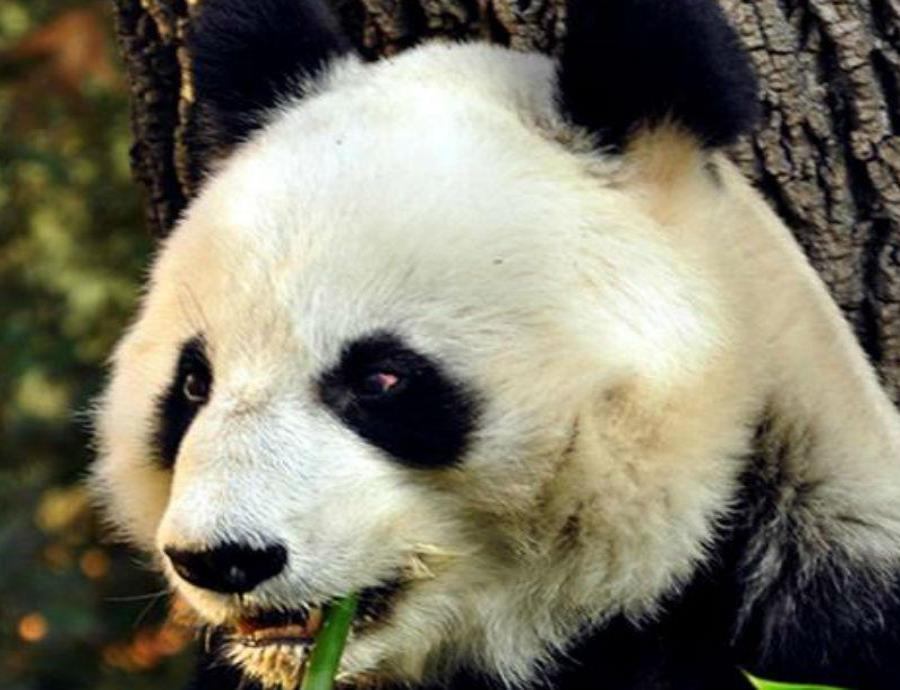 Oso panda (semisquare-x3)