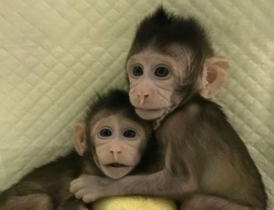 Monos clonados (semisquare-x3)