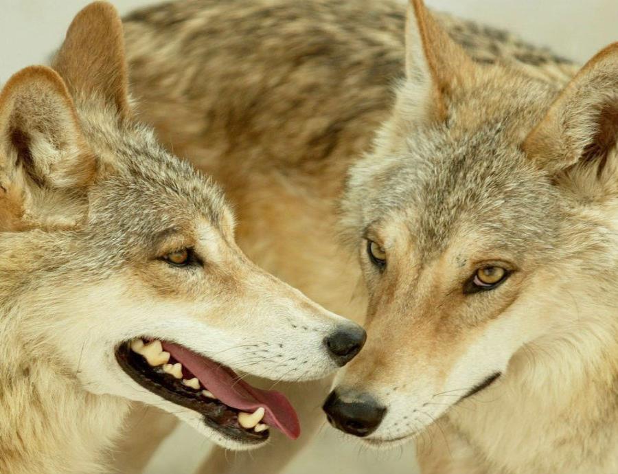 El estudio revela que los animales jóvenes se están dispersando.  (EFE) (semisquare-x3)