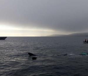 Rescatan una ballena de 130 pies que quedó atrapada en una red de pesca