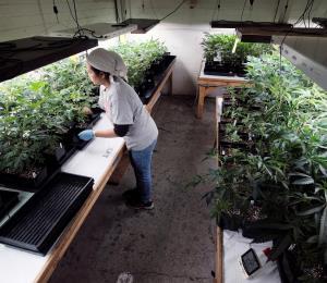 Gana terreno el cannabis medicinal en medio de la crisis por el coronavirus