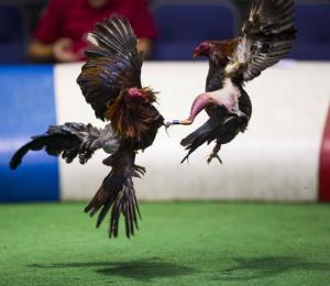 La Cámara se une como Amigo de la Corte en el caso por la prohibición de las peleas de gallos