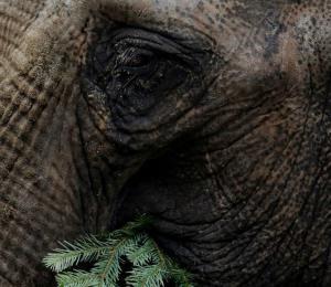 El insólito y lamentable mecanismo de defensa de los elefantes ante la caza furtiva