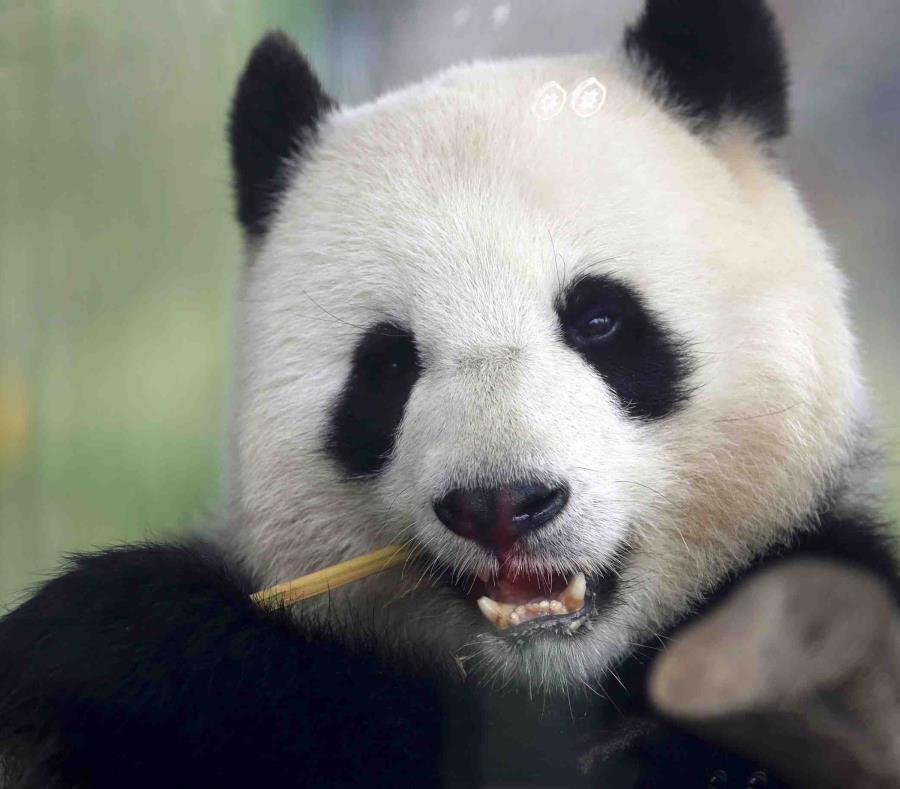 En la imagen, la panda Meng Meng mientras come un bambú en su recinto en el zoológico. (AP) (semisquare-x3)
