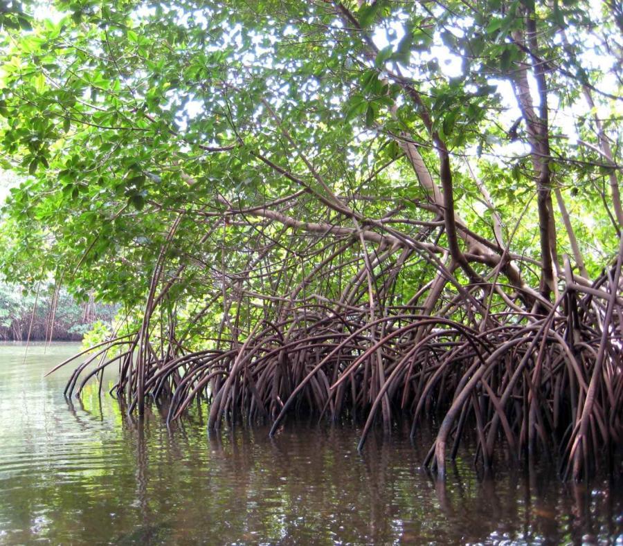 El mangle está localizado en el sector Villa Pesquera de Patillas (semisquare-x3)