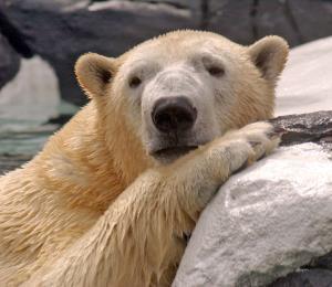 El oso polar de Jayuya