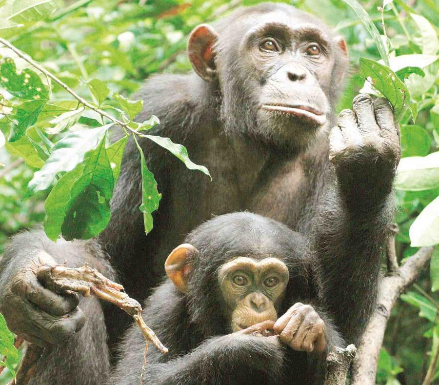 Chimpancés en Nueva York (semisquare-x3)
