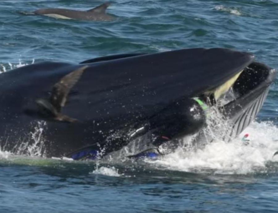 Imagen de la ballena en el momento en que se traga al buzo Rainer Schimpf,  en Sudáfrica (semisquare-x3)