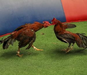 Los gallos y el imperio