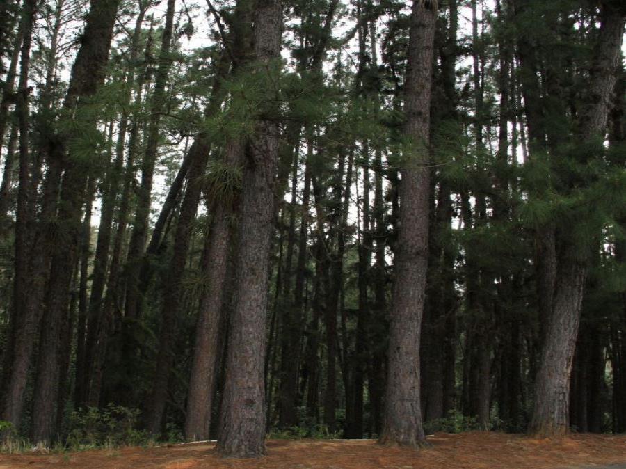 Un conjunto de árboles en un bosque (semisquare-x3)