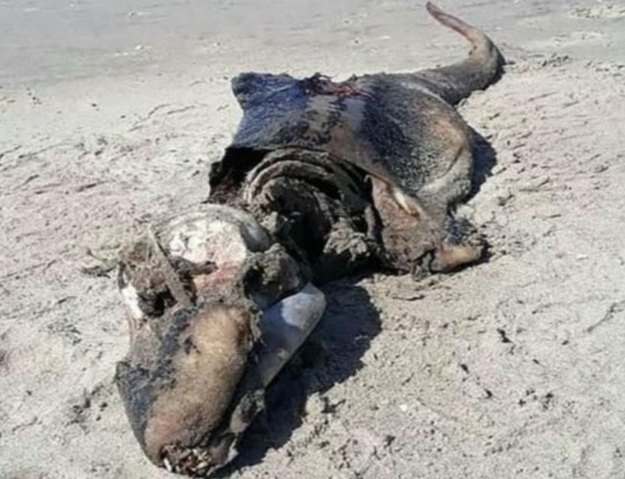 Descubren los restos de una extraña criatura marina en Gales (semisquare-x3)