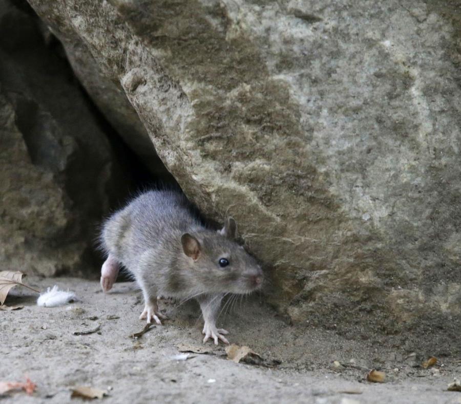 Una sola rata puede tener entre 15,000 y 18,000 crías en un año (semisquare-x3)
