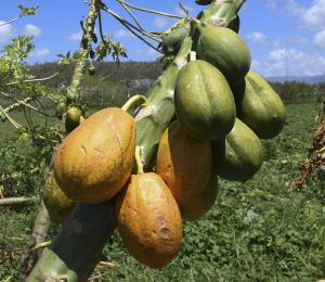 El árbol de papayas