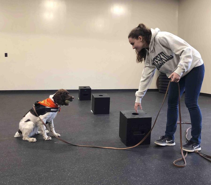 En esta fotografía del 7 de mayo de 2019, la estudiante Jessie Show trabaja con Luna, una springer spaniel a la que ha entrenado para detectar moho, en la Universidad Estatal de Nueva York en Cobleskill. (AP) (semisquare-x3)