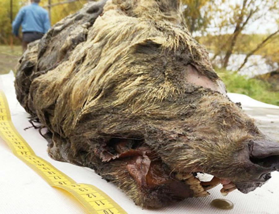 Hallan cabeza fosilizada de lobo gigante de la Edad de Hielo
