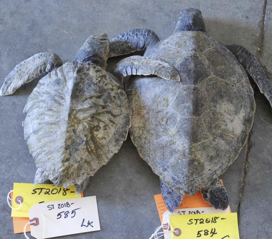 Un par de tortugas tortugas Kemp fallecidas aguardan su procesamiento en el Santuario de Vida Silvestre de la Bahía de Wellfleet de la Sociedad Audubon en Wellfleet, Massachusetts. (AP) (semisquare-x3)