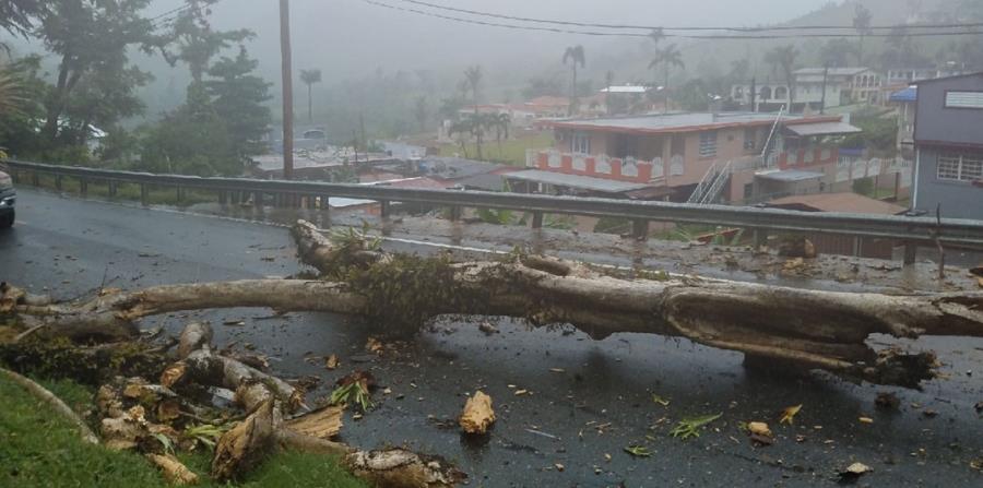 Imagen del árbol que cayó en la carretera PR-1, kilómetro 41.5, del barrio Beatriz, sector Las Abejas, en Caguas. (horizontal-x3)