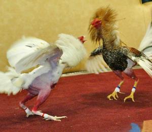 El fin de las peleas de gallos