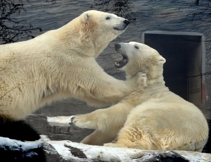 Los osos polares son altamente vulnerables al cambio climático debido a su dependencia de las condiciones de hielo para adquirir su alimento (semisquare-x3)