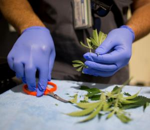 La industria local de cannabis confía en su legalidad