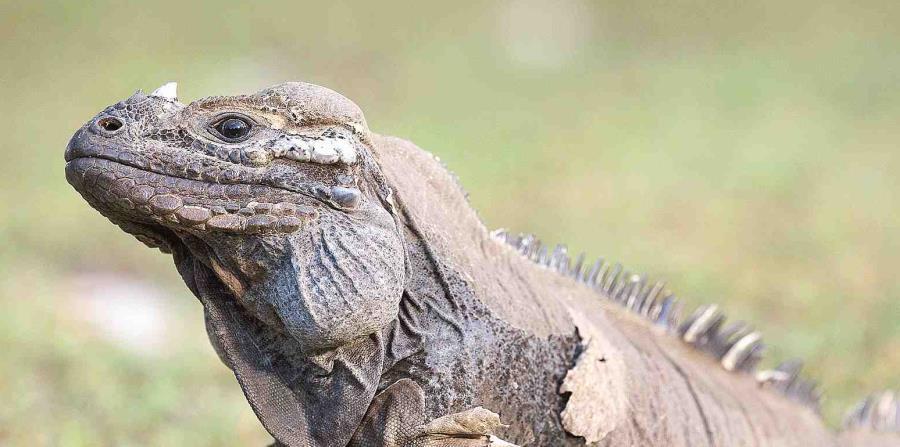 Esta especie de iguanas es nativa de Centroamérica, Suramérica y el Caribe (horizontal-x3)