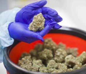 Entre el reglamento y la ley del cannabis medicinal