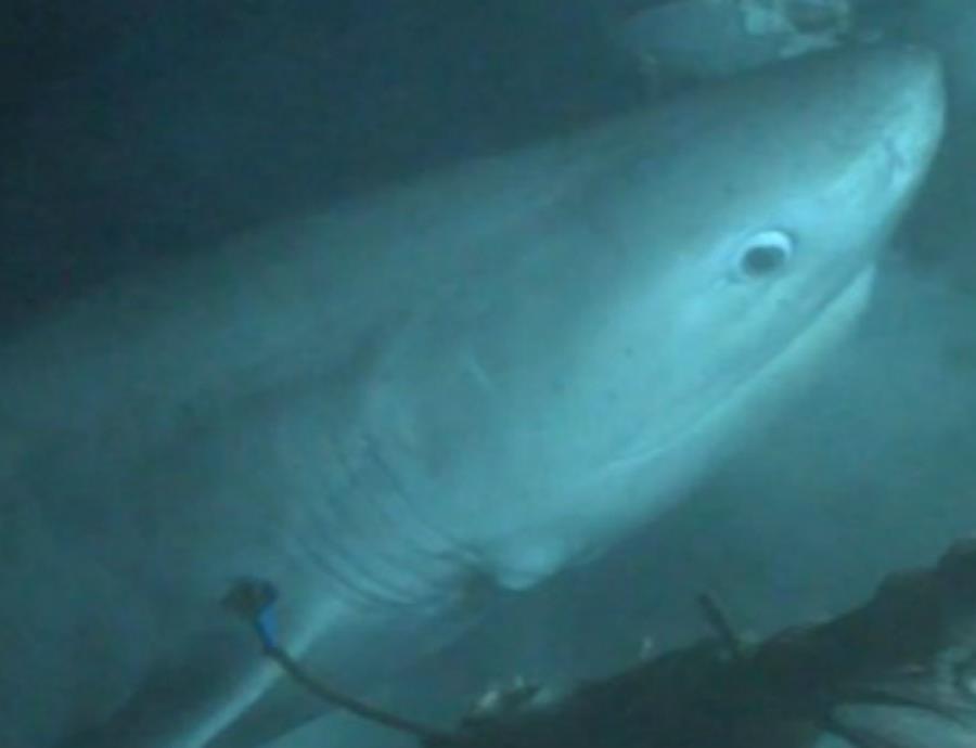 Captan a tiburón de más de 200 millones de años