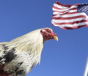 Informe sobre un gallo manilo