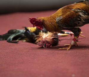 Los pollos y el estatus