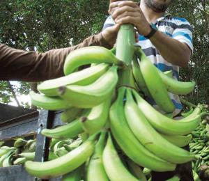 Plátano unificador