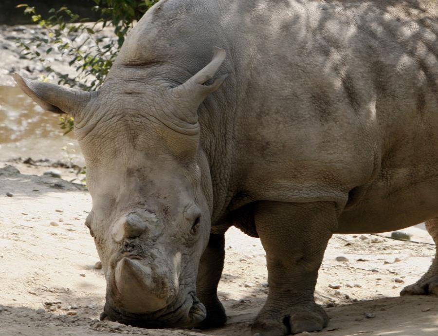 Rinocerontes (semisquare-x3)
