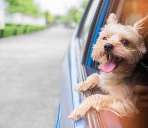 Claves de seguridad para viajar en auto con tu perro