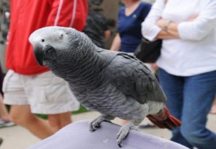 El loro fue entregado a un zoológico local donde pasará tres meses aprendiendo a volar antes de ser liberado (semisquare-x3)