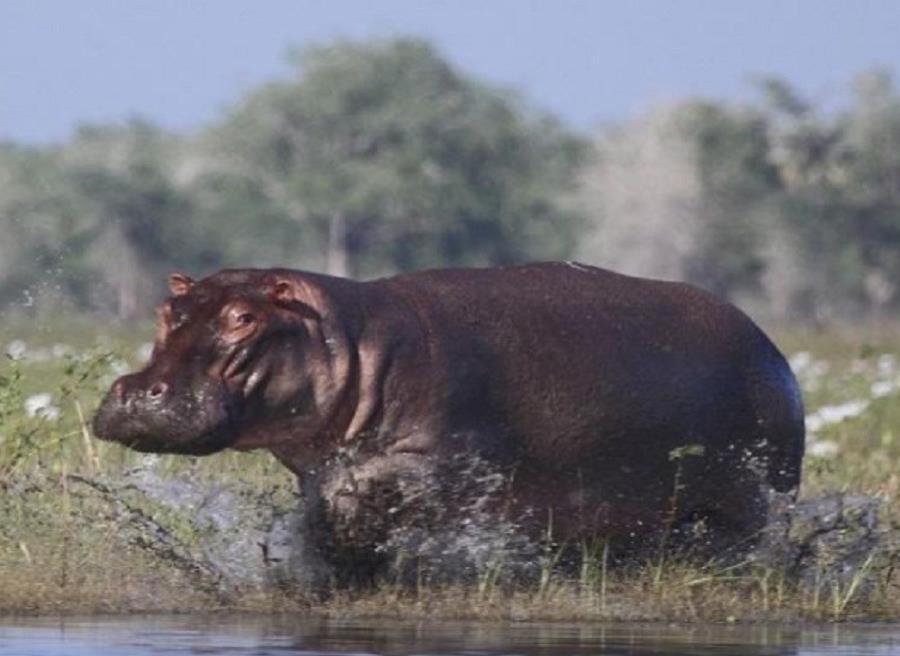 Tras la muerte del capo y la extinción de dominio de sus propiedades, los hipopótamos escaparon y se procrearon sin ningún control (semisquare-x3)