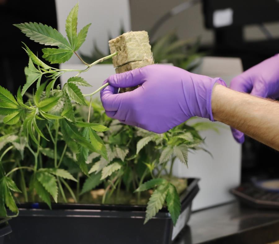Un empleado manipula una planta de marihuana. (EFE / John G. Mabanglo) (semisquare-x3)