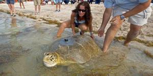 "Dos tortugas rescatadas se unen al ""Tour de Turtle"" en Florida"