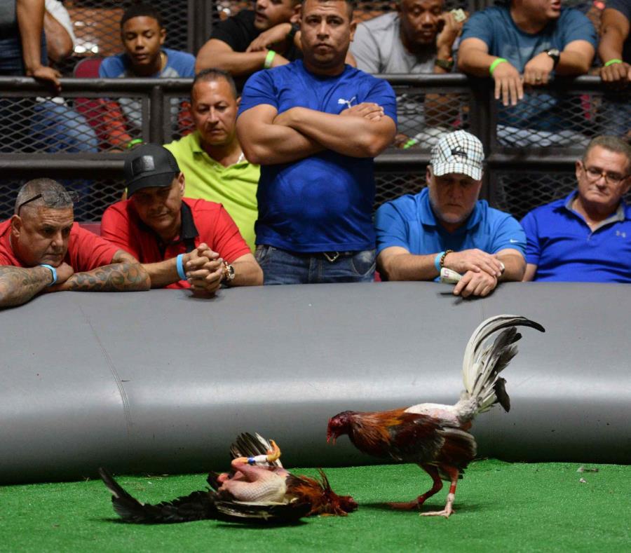 Jenniffer González advirtió que la industria de las peleas de gallos en Puerto Rico ha representado 12,250 empleos directos, y otros 15,000 indirectos, como parte de una actividad económica que ronda los $18.4 millones. (semisquare-x3)