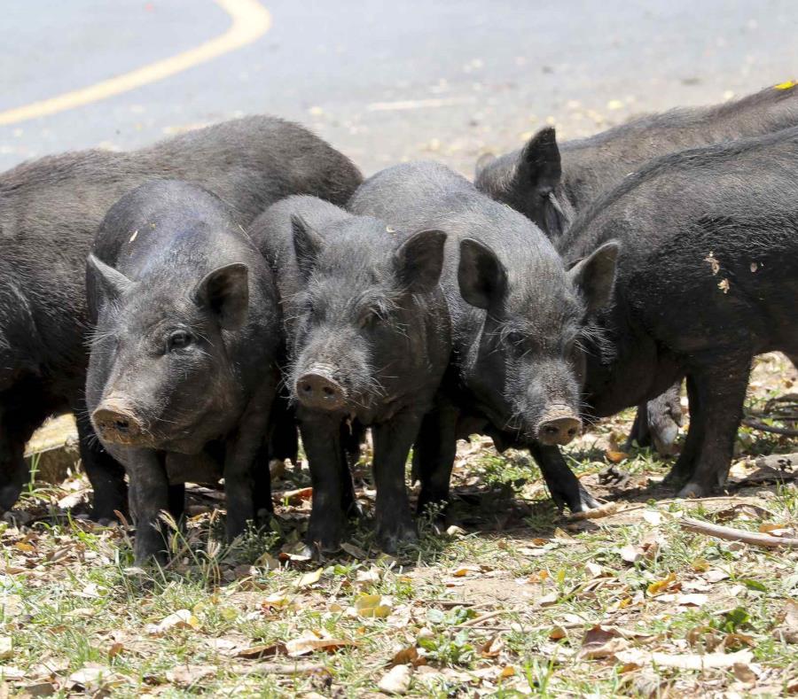 La Ley 154-2008 o Ley para el bienestar y Protección de los animales establece que la Oficina Estatal de Control de Animales tiene la jurisdicción sobre los animales realengos (semisquare-x3)