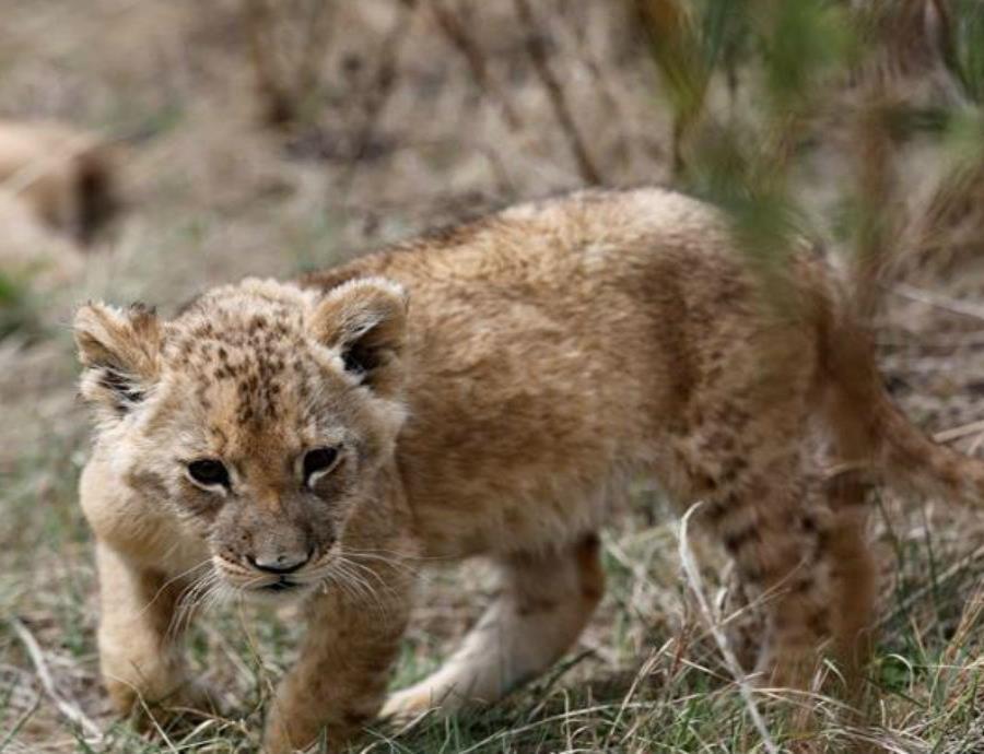 Nacen en Sudáfrica los primeros leones concebidos por inseminación artificial (semisquare-x3)