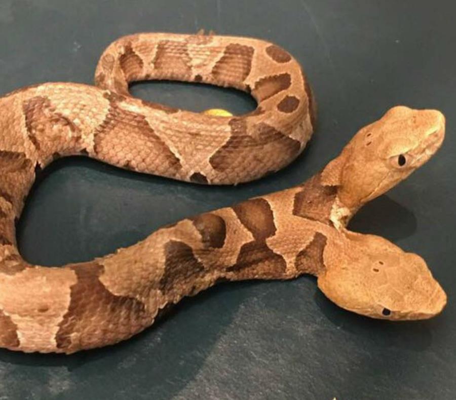 Descubren una extraña serpiente venenosa con dos cabezas en Virginia (semisquare-x3)