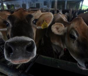 El sector ganadero de leche se repone del golpe de María