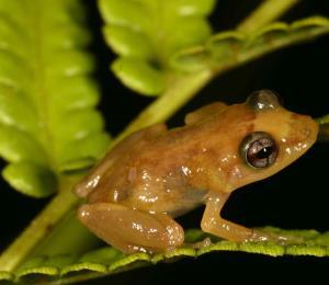 La extinción masiva de sapos y ranas como el coquí
