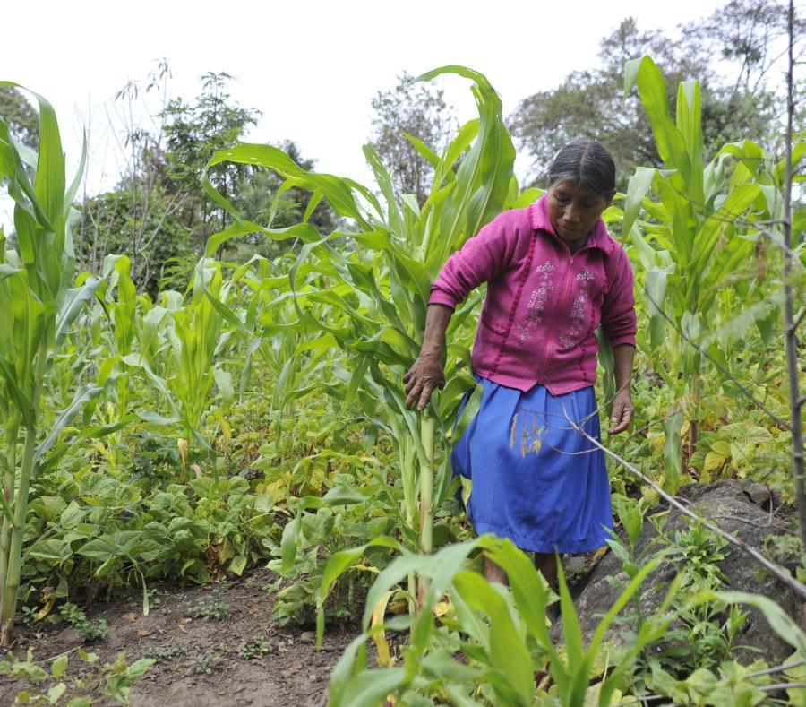 Una mujer recolecta hortalizas en el estado de Chiapas, México. (EFE) (semisquare-x3)