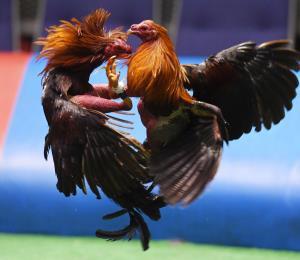 Sin supervisar las apuestas en las peleas de gallos