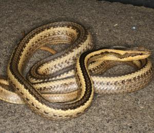 Una nueva serpiente es nombrada en honor a un profesor de Luisiana