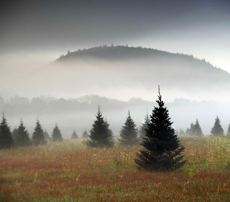 Una granja de árboles de Navidad, en Maine. Amazon planea vender árboles navideños a partir de noviembre de 2018. (AP) (semisquare-x3)