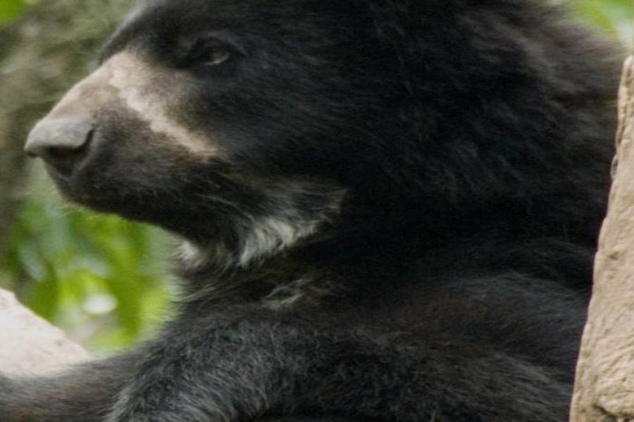 El oso andino es el único nativo de Sudamérica. (semisquare-x3)