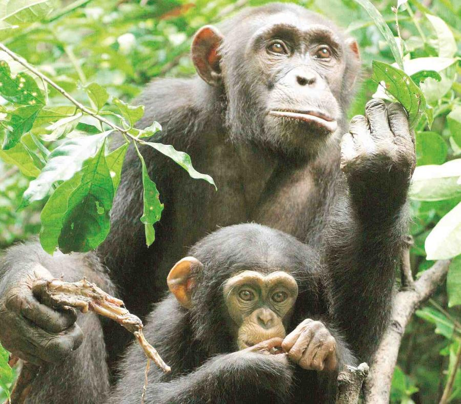 Una chimpancé junto a su cría sostiene un pedazo de carne que recibió de un macho adulto en el Parque Tai de Costa de Marfil. (semisquare-x3)